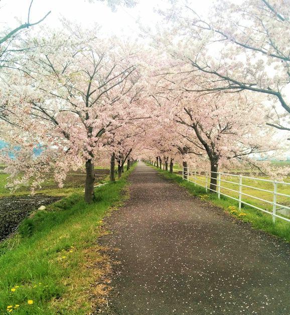 RingRing-Sakura2016.jpg
